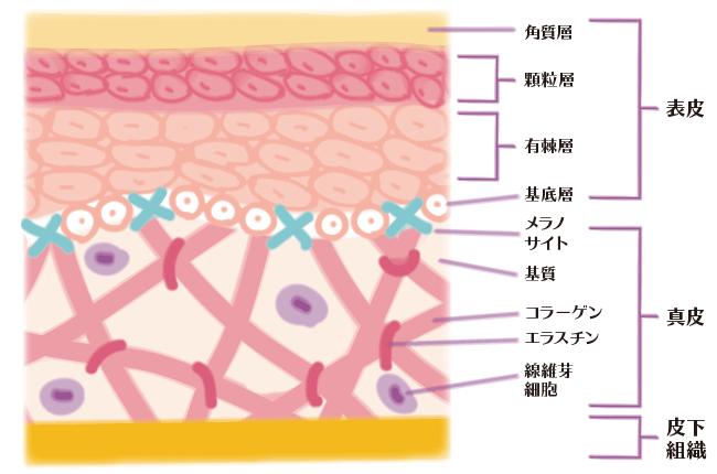 肌の構造イラスト