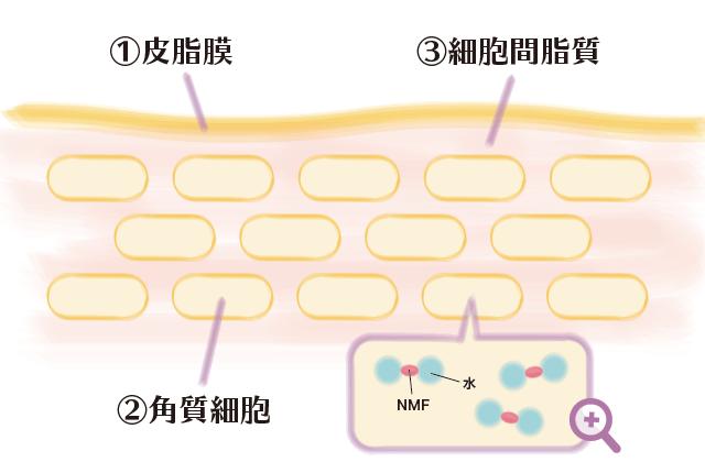 皮脂膜と角質細胞と細胞間脂質3つの働きイラスト