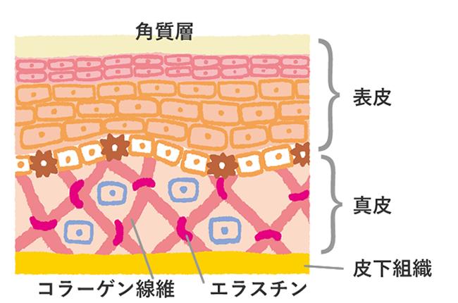 肌は、表皮・真皮・皮下組織という3つの層からなります